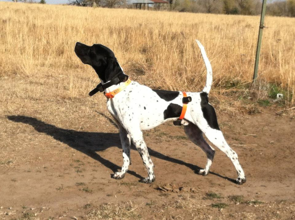 Image of: Field Trial Bird Dog Training Petmd Bird Dog Training Setter Dogs